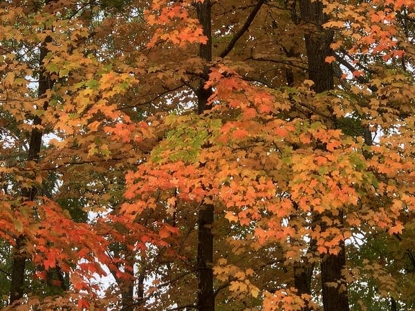 Fall colors brighten a forest