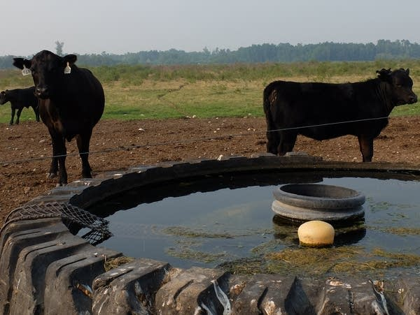 cows stand near a tank of water
