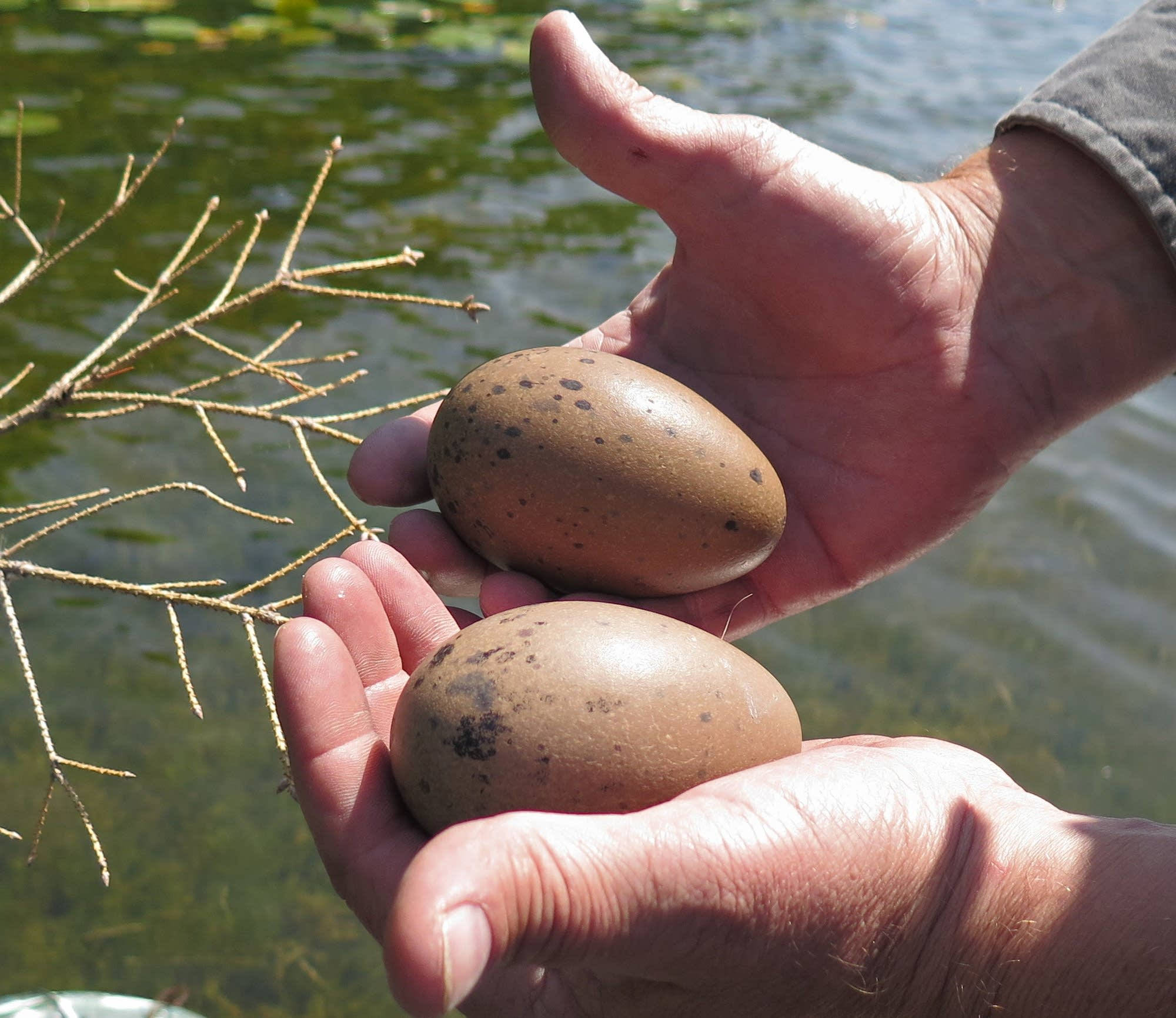 Biologist Kevin Woizeschke removes abandoned loon eggs from a nest.