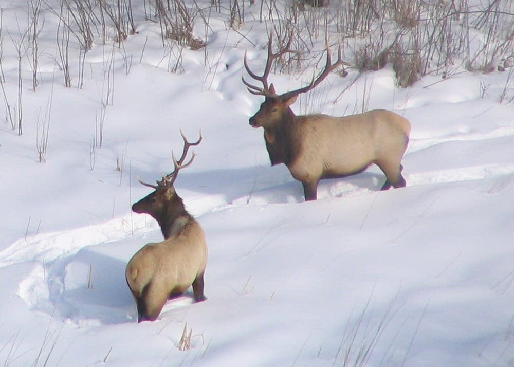 Elk walk through the snow near Grygla, Minn.
