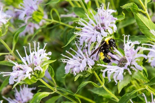 A bumblebee on a flower in East River Flats Park