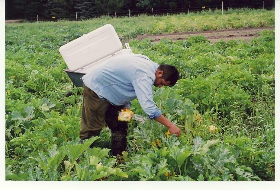 Picking squash