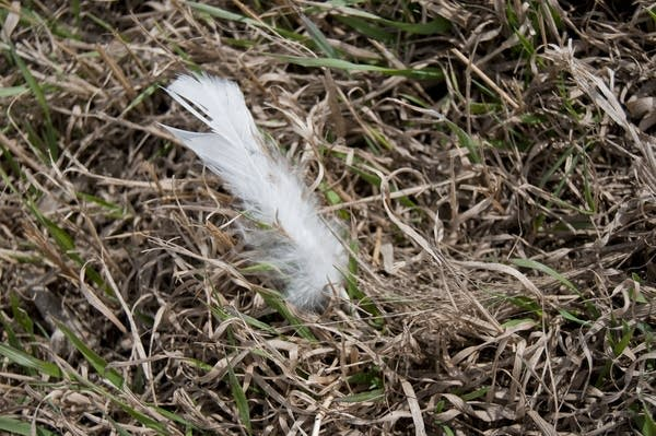A turkey feather lay in a ditch