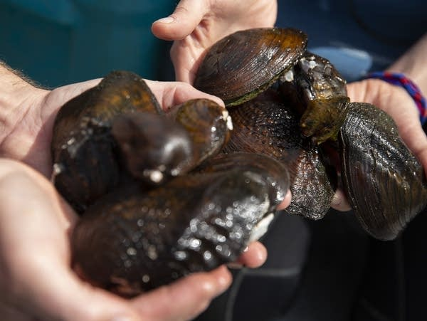 Closeup of hands holding different mussel species.