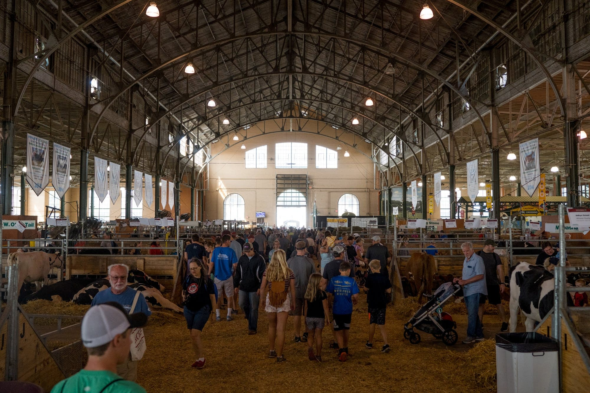 Fairgoers peruse bovine beasts inside the cow barn.