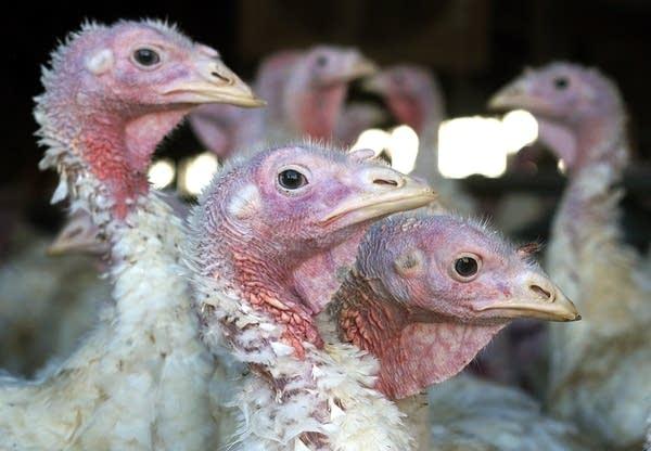 Avian flu has turned up on turkey farms in Minn.