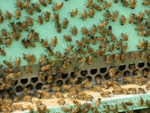 Bees are busy outside a hive