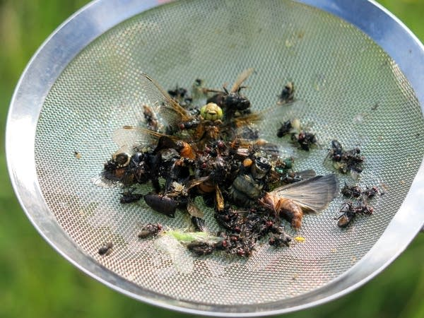 A collection of insects taken from 24 traps.