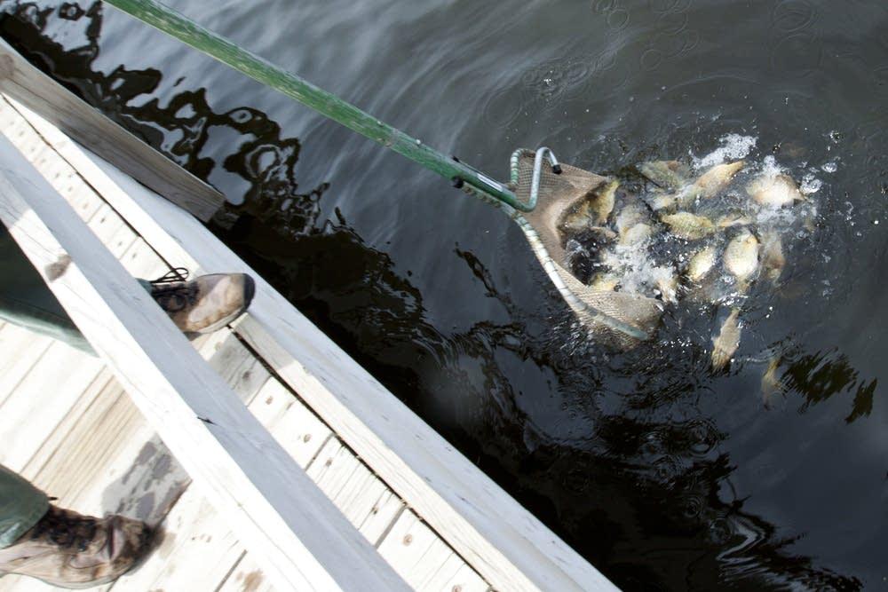 Dumped sunfish