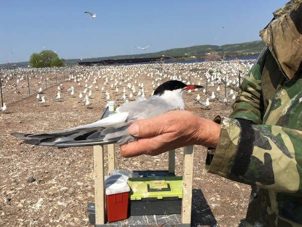 Minnesota DNR volunteer Fred Strands gently holds a common tern.