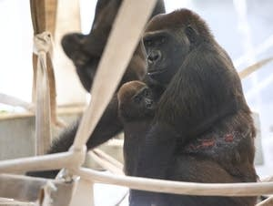 Alice holds her baby Nyati at the Como Zoo's behind-the-scenes habitat.
