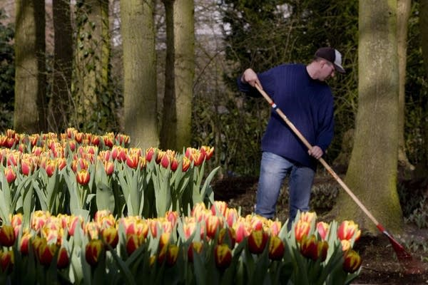Triumph tulips named 'Dow Jones' are see