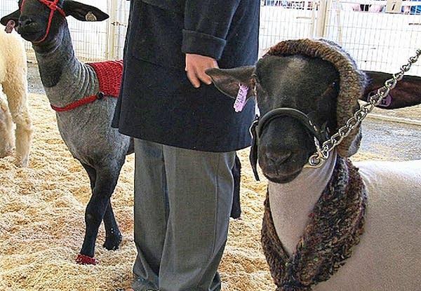 Lamb fashion at the fair