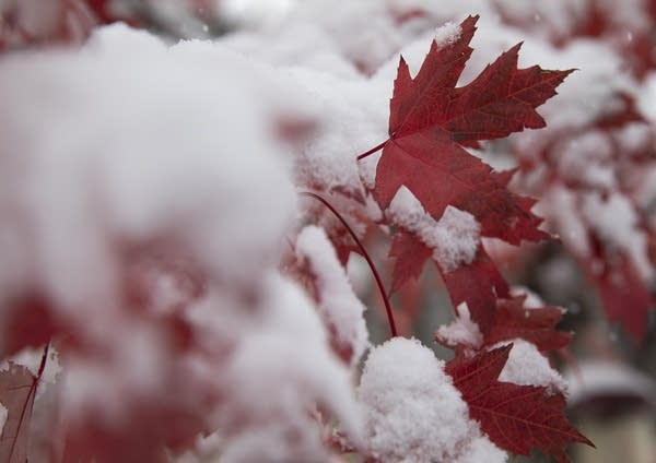 Red leaves on a tree are covered in snow.