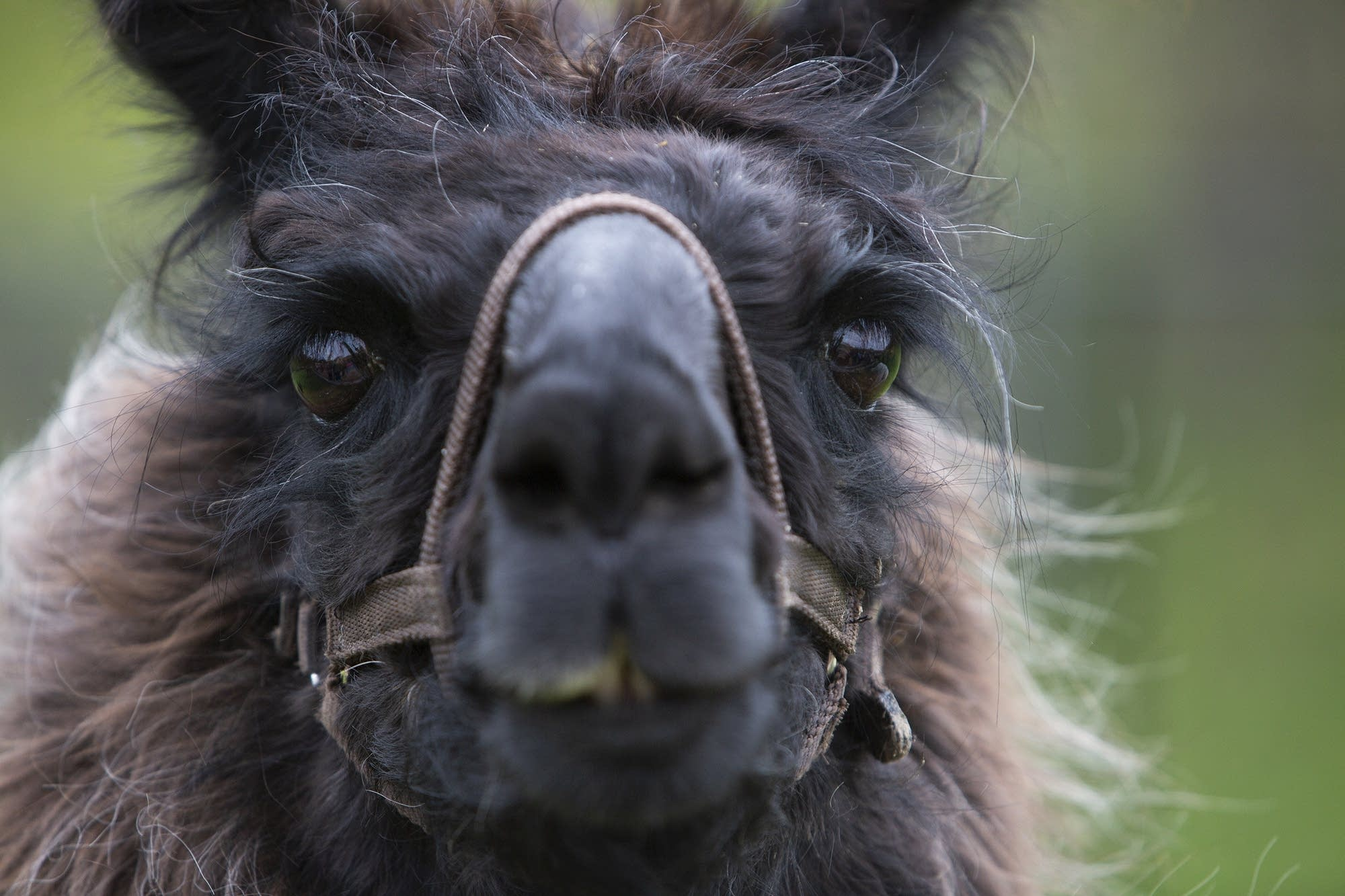 Llamas are related to alpacas but are larger and have longer faces.