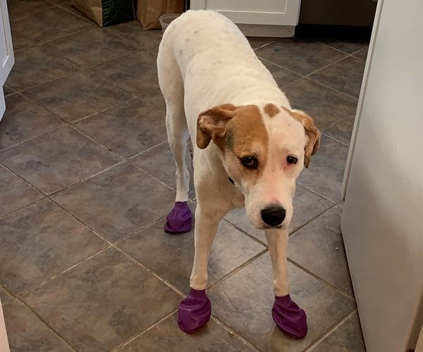 Tupelo the dog with her boots on.