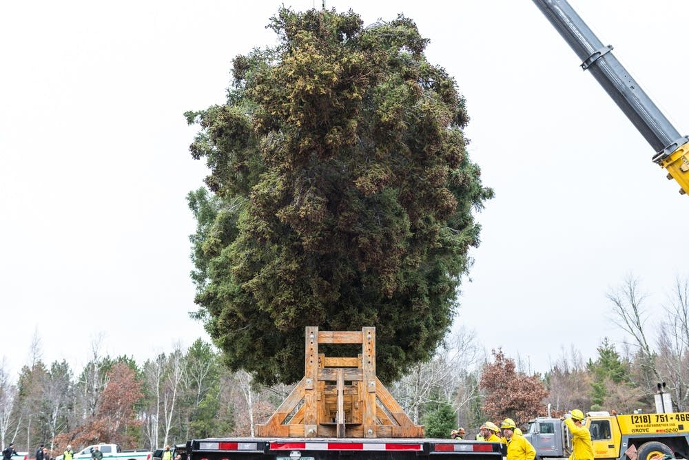 The tree is lowered onto the trailer.