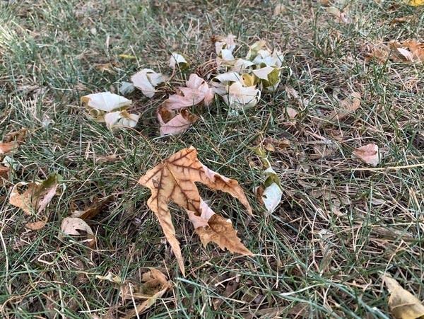 Fallen leaves on a dry lawn