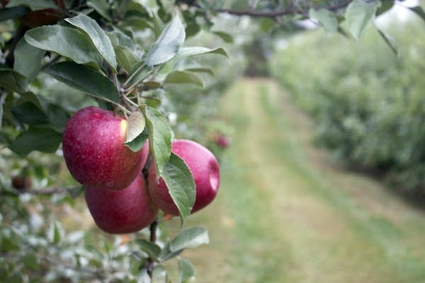 Apple trees in a large orchard.