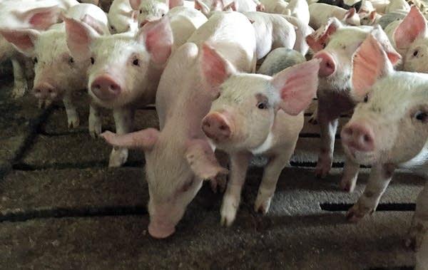 Pigs at Randy Spronk's farm.