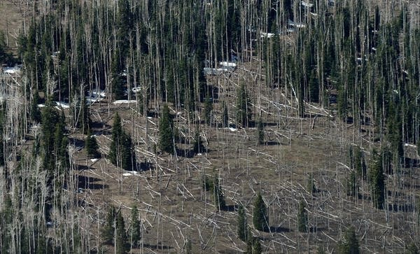 Pine trees killed by bark beetles