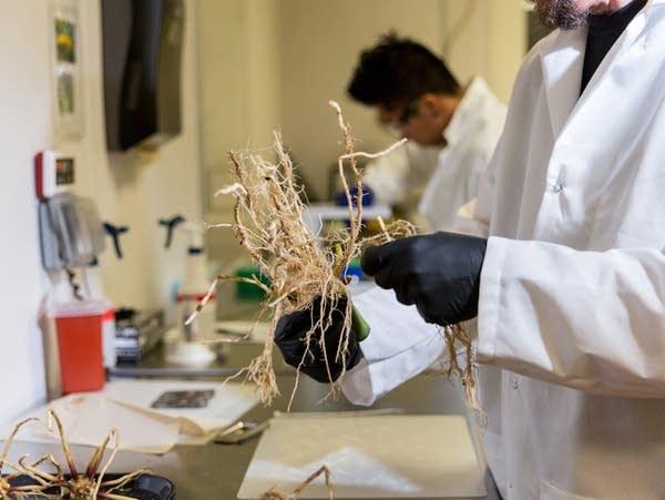 Pivot Bio scientists prepare corn roots to measure microbe colonization