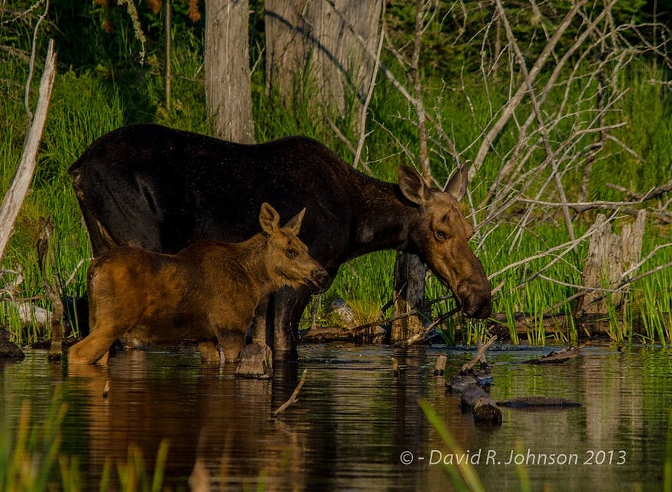 Mother and baby moose