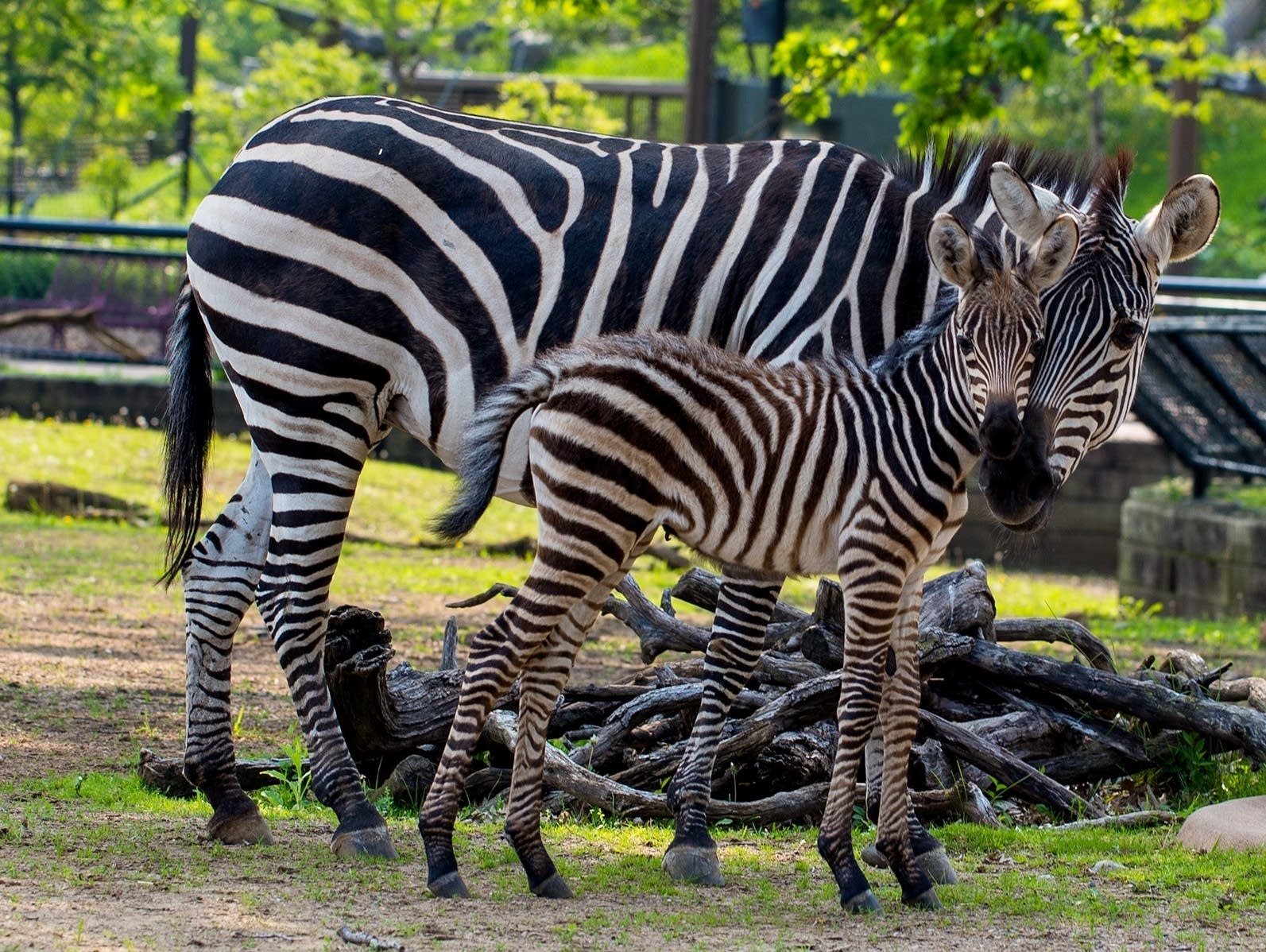 The Como Zoo asks the public to help pick the name for its new baby zebra.