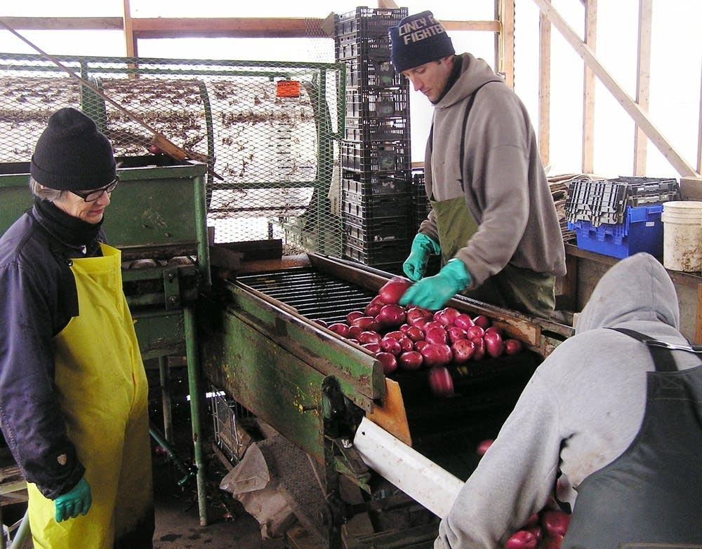 Inspecting potatoes