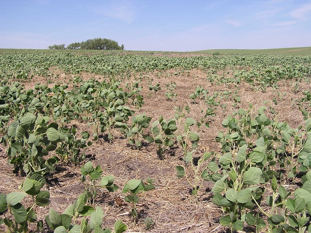 Stunted soybeans