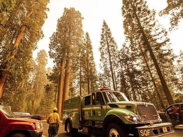 A fire engine drives past sequoia trees