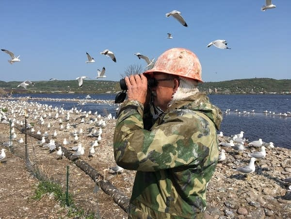 Fred Strand studies common tern nests on Interstate Island.