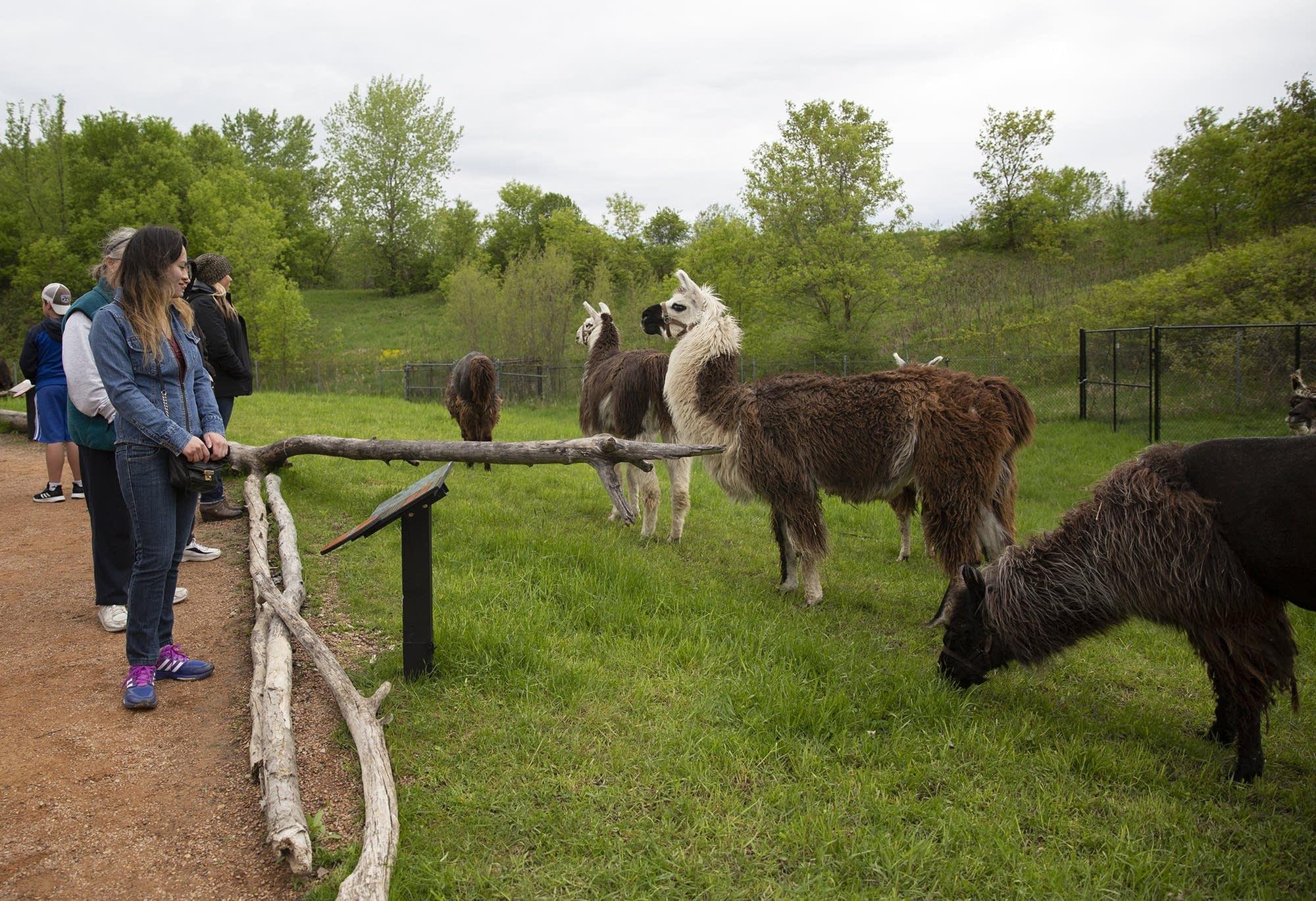 The llama Trek features 20 llamas roaming freely alongside visitors.
