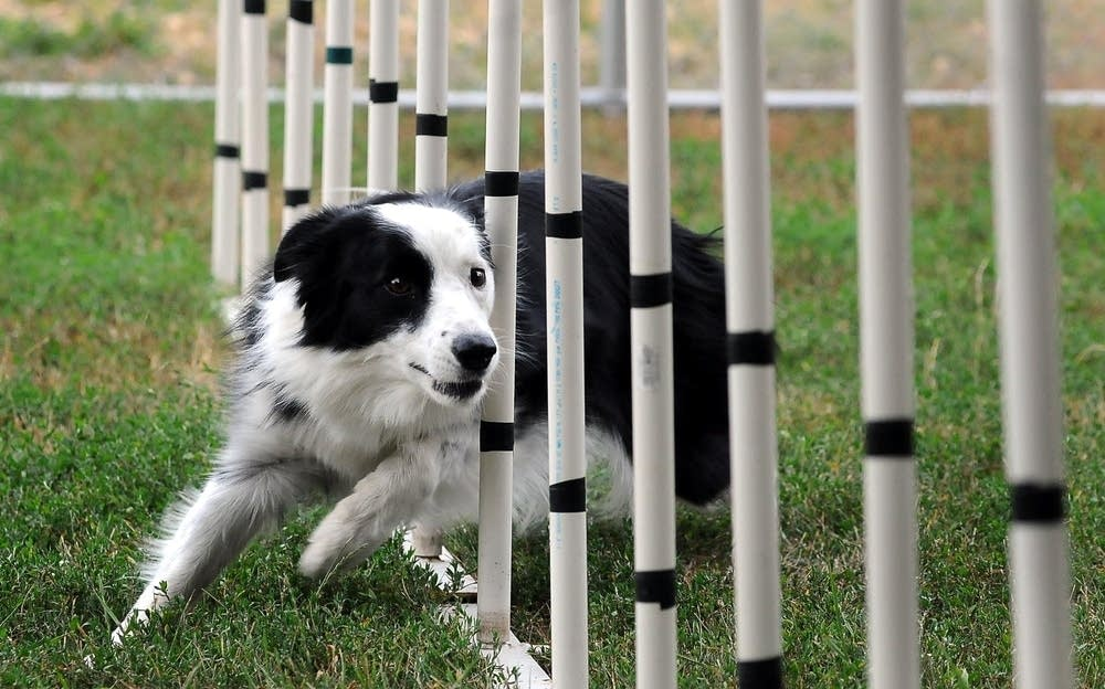 Sport the border collie