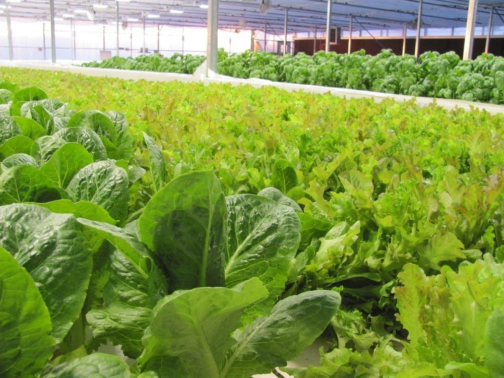 Hydroponic romaine lettuce