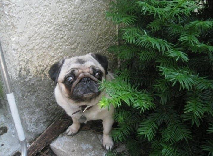 Smudge the Pug
