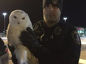 A Bloomington police officer holds an owl that was struck by a vehicle.