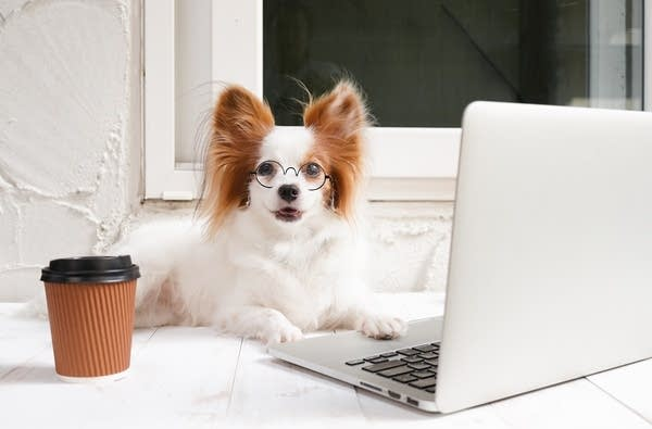 Dog (Toy Spaniel) working on a silver laptop with a cup of coffee