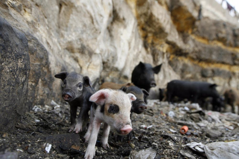 Newborn pigs in Egypt