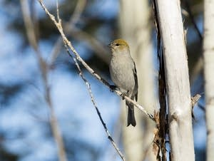 A pine grosbeak rests in a tree