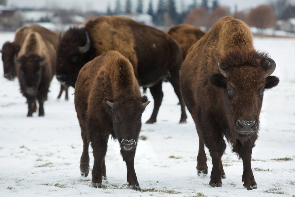 Ed Eichten's bison