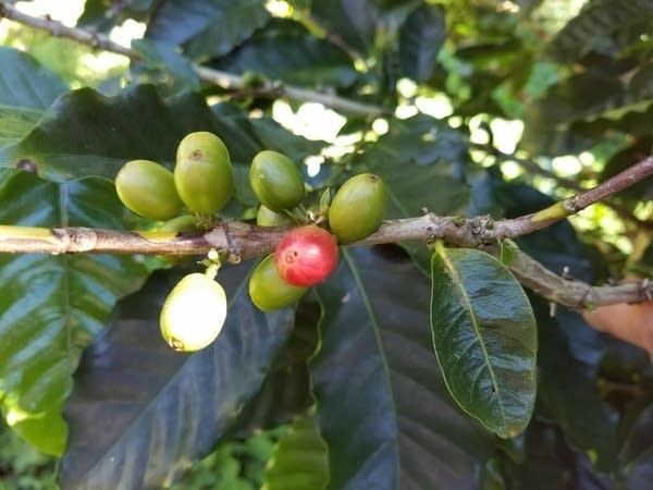 A coffee plant in Cuba.