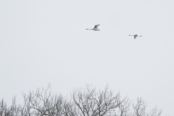 Two swans fly over the tops of a tree.