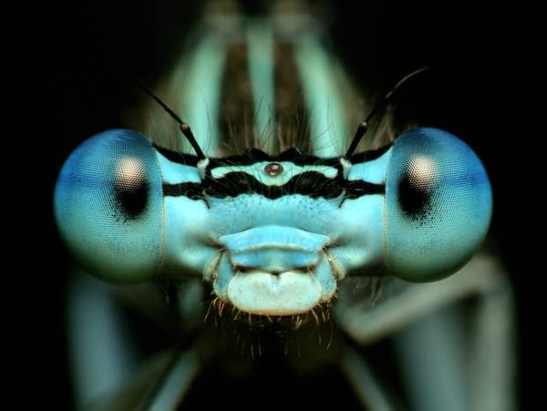 How do dragonflies see the world?