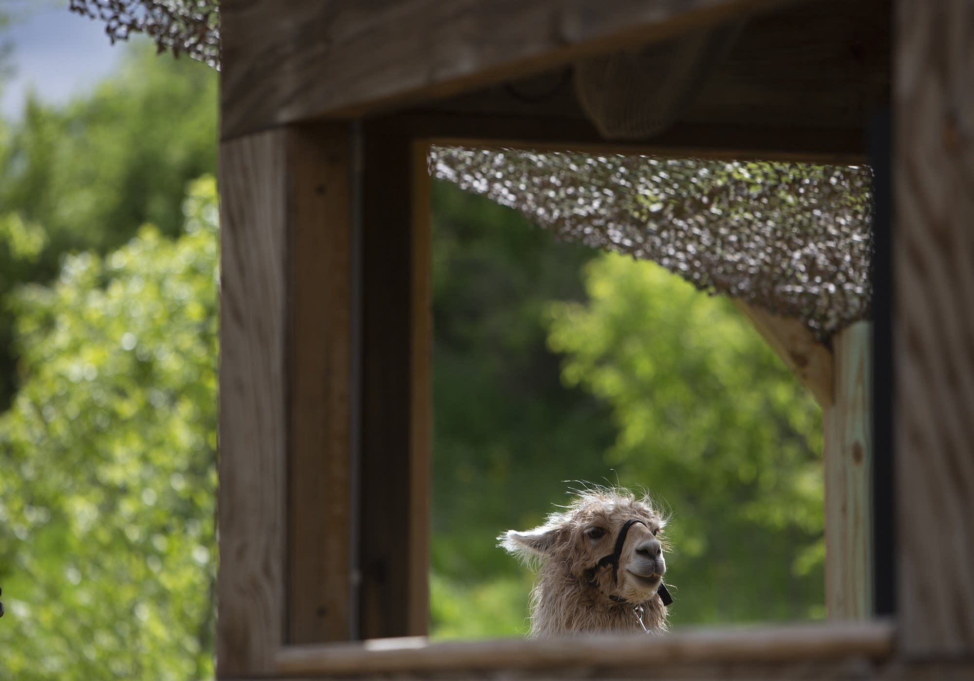 A llama peeks through a structure at the Minnesota Zoo.