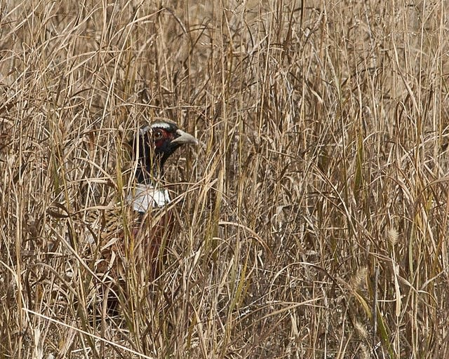 A pheasant hides in grass near the Coon Rapids dam