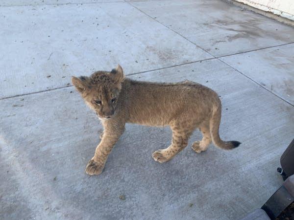 A cute little liger cub (half tiger/half lion) standing on concrete