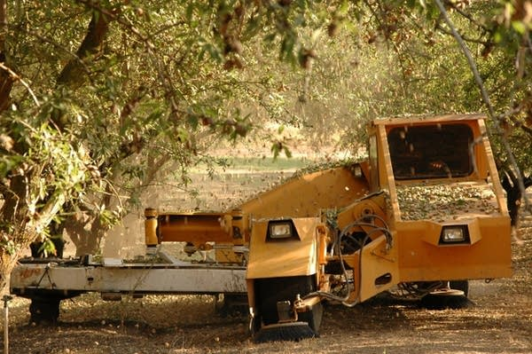 Almonds at harvest