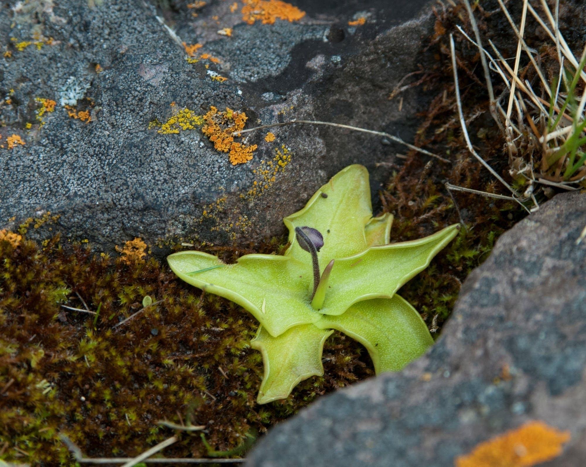 Butterwort flower