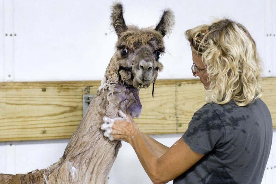 Washing a llama